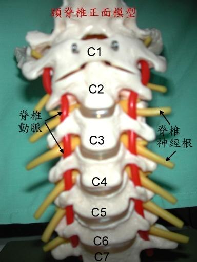 主治项目 颈椎病变    人颈部结构非常复杂,但大体上分成前半及后半